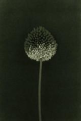 (Veronika Chikalova) Tags: art artphotography fineartphotography floral flora flowers bwphoto blackandwhite digital blumen monochromatic monochrome minimalism minimalistphotography