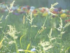 GRAS UND BLUMEN (hlh 1960) Tags: gras blumen flower licht bokeh farben nature natur outdoor bunt blossom light