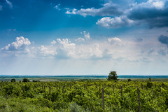 Wine Country (cristian_jordache) Tags: wine yards summer romania buzau poetry sunshine sony ilce 7m2