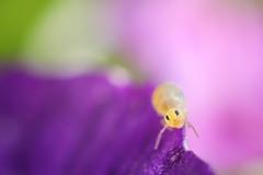 macro mondays : Multicolor (marie1179) Tags: macromondays multicolor collembola colémbola hoppstjärt springstaart springtail springschwänze symphypleona bourletiellidae bourletiellahortensis macro canoneos80d kenkoextensiontubes mpe65mm macroringlitemr14ex falconeyesledlight color purple pink green yellow opitter