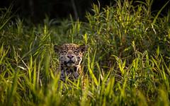 looking up (ciwi.photography) Tags: jaguar pantanal brazil brasil animal cat grass