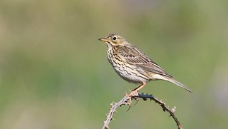 Meadow Pipit 230518 (1)