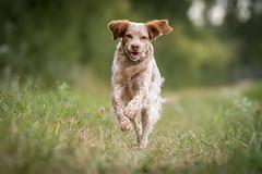Smile (colorgraVie) Tags: bokeh bretone englischersetter hund nikonafsnikkor70–200mm128gedvrii nikond7200 pointer tier rennen brittany englishsetter dog animal run