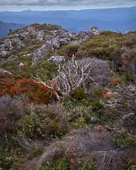 Wildflowers-Tasmania (ShirleyC059) Tags: wildflowers tasmania textures mt roland spring summer heathland