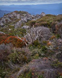 Wildflowers-Tasmania