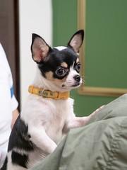 小嘟嘟 09 (enno7898) Tags: pet puppy f28 1240mm mzuiko olympus g9 lumixg9 lumix panasonic