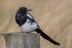 Magpie (Simon Stobart - Back But Way Behind) Tags: magpie pica perched fence post northeast england uk naturethroughthelens