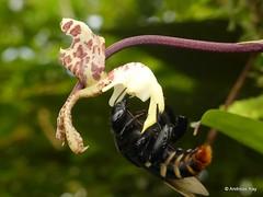 Orchid bee, Eulaema meriana collecting perfume from the orchid Gongora scaphephorus (Ecuador Megadiverso) Tags: apidae apinae euglossinebee euglossini eulaemameriana gongorascaphephorus hymenoptera jardinbotanicolasorquideas orchid orchidbee