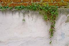 Natuurlijke muurvegetatie (Roel Wijnants) Tags: ccbync roelwijnants roelwijnantsfotografie roel1943 muur plant wildgroei natuurlijk pland bloem overleven droogte muurvegetatie wandelvondst wandelen fietsen leesdegebruiksvoorwaarden