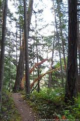 2018-08-18 Whistle Lake Trail 205 (05) (680x1024) (-jon) Tags: anacortes skagitcounty skagit fidalgoisland sanjuanislands washingtonstate washington pnw pacificnorthwest salishsea pugetsound acfl anacortescommunityforestlands whistlelake lake trail path 205 nikon nikonl22 tree douglasfir fern alder summer woods forest a266122photographyproduction hiking hike walk walking