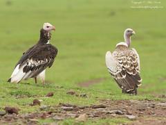 White-headed Vulture (Trigonoceps occipitalis) (www.mikebarthphotography.com 2M Views thanks !) Tags: trigonocepsoccipitalis whiteheadedvulture