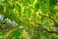 They will be Spumante (alfsan) Tags: vino wine uva grape vigna vineyard