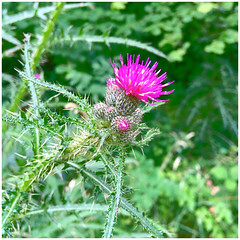 Marsh Thistle (Julie (thanks for 9 million views)) Tags: cirsiumpalustre marshthistle pink wildflower tinternwoods flora wexford ireland irish iphonese texture spiky green woodland htt