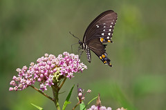 rough spicebush ( explored ) (G_Anderson) Tags: butterfly milkweed garden wildflower swallowtail spicebush
