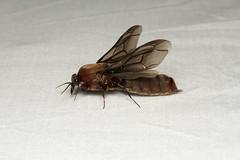 Dorylus sp. ♂ (Driver Ant - Safari Ant - Siafu) - Isunga Uganda (Nick Dean1) Tags: animalia arthropoda arthropod hexapoda hexapod insect insecta hymenoptera dorylus driverant ant siafu safariant isunga uganda