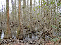 Trees In Jacob Swamp. (dccradio) Tags: lumberton nc northcarolina robesoncounty outdoor outdoors outside tree trees nature sky cloudy natural overcast greysky graysky godshandiwork godscreation jacobswamp swampland swamp swampy wooded woods forest water wetlands greenery foliage spring springtime lutherbrittpark park citypark canon powershot elph 520hs
