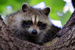 Raccoon Cub (David Sumpton) Tags: wildlife us central park newyork ny racoon baby cub kit raccoon