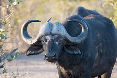 Cape Buffalo (Syncerus caffer) (Mason Flint) Tags: africa bovidae bovines capebuffalo geographicplaceincludingtown location mammal sabisands southafrica synceruscaffer city countryetc county krugerpark mpumalanga za