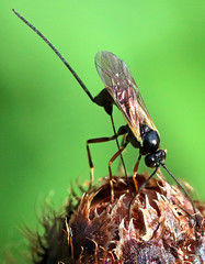 It's time for your Injection! (PJ Swan) Tags: ichneumon wasp parasitoid insect parasitism parasitic macro