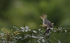 """5-Tambien conocida como """"la rubialoca"""". Con su copete despeinado y su espalda desnuda, gregaria, devoradora de ranas y lagartijas! Además la he visto recoger colillas y fumar en Puerto Madero. (Cimarrón Mayor 14,000.000. VISITAS GRACIAS) Tags: ordencuculiformes familiacuculidae subfamiliacrotophaginae géneroguira pirincho guira cucoguira serere especieguiraguira nombreinglesguiracuckoo lugardecapturamorretes paraná brasil ave vogel bird oiseau paxaro fugl pássaro птица fågel uccello pták vták txori lintu aderyn éan madár cimarrónmayor panta pantaleón josémiguelpantaleón objetivo500mm telefoto700mm 7dmarkii canoneos canoneos7dmarkii naturaleza libertad libertee libre free fauna dominicano pájaro montañas"""