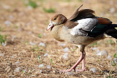 thoughtful egyptian goose (Siggital) Tags: egyptian goose nilgans water wasser bird vogel buga düsseldorf südpark nrw oberbilk deutschland germany