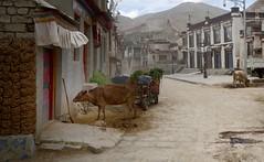 Gyantse old town, Tibet 2017 (reurinkjan) Tags: tibetབོད བོད་ལྗོངས། 2017 ༢༠༡༧་ ©janreurink tibetanplateauབོད་མཐོ་སྒང་bötogang tibetautonomousregion tar gyantséརྒྱལ་རྩེ།county gyantseརྒྱལ་རྩེ། gyantseoldtown cowsinthestreet streetview tibetanarchitecture townshipསྡེ་གཞུང་།ཤང་། townགྲོང་གསེབgronggseb hometownཕ་ཡུལphayul