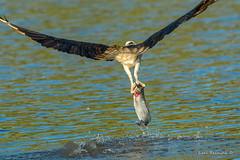(Earl Reinink) Tags: bird animal water summer earlreinink buttshot fish flying nature wildlife osprey predator raptor diddaazdza
