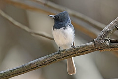 Leaden Flycatcher (Alan Gutsell) Tags: wildlife nature alan australia photo queensland birds photography canon camera gold coast leaden flycatcher leadenflycatcher federation spit