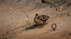 DSC04159.jpg (fotolasse) Tags: sonykarlshamnfåglarstorm karlshamn storm blåst vatten rågar hamn hav sjö båtar water sea birds rocks klippor