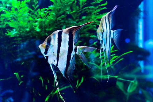 Freshwater angelfish of Sumida Aquarium in Tokyo Sky Tree Town : エンゼルフィッシュ(すみだ水族館)