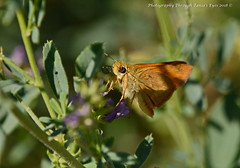 Long Dash Skipper (Polites mystic) (Photography Through Tania's Eyes) Tags: longdashskipper skipper butterfly insect wings probosis politesmystic wildflower flora fauna nature