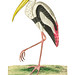 Gangetic ibis or White ibis illustration from The Naturalist's Miscellany (1789-1813) by George Shaw (1751-1813)