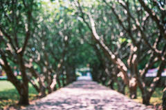 Blurry scene of walkway under tree (jack-sooksan) Tags: blurred blurry defocus outdoor walkway track trail path route plant tree green old twig stalk foliage under cover nature garden park sunlight hot sunshine botany botanical summer plantation branch limp shrub parkland natural