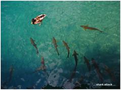 P7170311 18x24 (M64RM) Tags: sharkattack