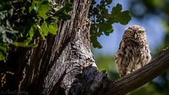Hello Little Owl (*LaurenMcCartney*) Tags: owl little nocturnal richmond park natgeo green brown rare endangered wild wildlife animal canon light reflect tree bird prey camouflage rock littleowl