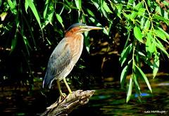 Green Heron (Lois McNaught) Tags: greenheron bird avian nature waterfowl hamilton ontario canada