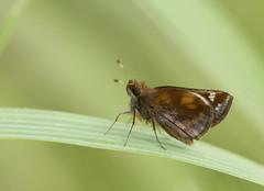 Zabulon Skipper female (brian.magnier) Tags: new jersey nature wildlife animals outdoors