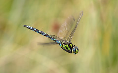 Southern hawker m (Culbin Forest) (Steve Balcombe) Tags: insect dragonfly southern hawker odonata anisoptera aeshna cyanea culbin forest kintessach moray scotland uk