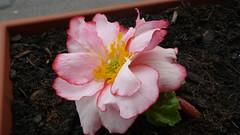 Bégonias à ma fenêtre (jeanlouisallix) Tags: rouen seine maritime haute normandie france fleurs fowers plantes nature jardinage jardinière balconnières bégonias