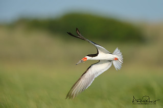 black skimmer bringing home dinner for the little one