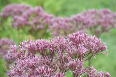 Joe Pye Weed Flower Head (esywlkr) Tags: wildflower joepyeweed nc nature haywoodcounty pink northcarolina