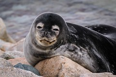 ANT180315 . Explore 18-08-2018 (robertopastor) Tags: antarctica antarctique antarktika antartic antártida fuji robertopastor xt2 xf14xtc xf100400 aq