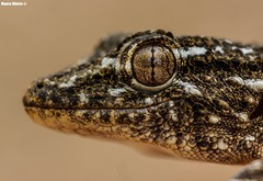 Gecko Gaze! (Mauro Hilário) Tags: tarentola mauritanica common gecko portugal nature wildlife macro detail look reptile herp herpetology closeup beautiful gaze portrait animal scales lizard