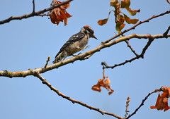 Shots From My Lounger (Neal D) Tags: bc abbotsford bird branch woodpecker downywoodpecker picoidespubescens