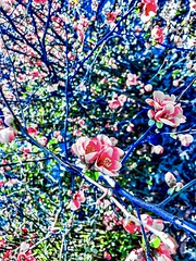 """Ten days of perfect tunes 🎶 The colors red and blue"" ―The Knife 🌸 (anokarina) Tags: appleiphone8 petworth instagram adobephotoshopexpress psmobile colorsplash pink red blue green summer flowers blossoms blooms"
