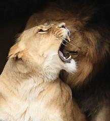 african lion Caesar and Kianga artis JN6A1685 (j.a.kok) Tags: leeuw lion africa afrika afrikaanseleeuw africanlion pantheraleoleo animal artis cat kat mammal zoogdier dier predator caesar kianga