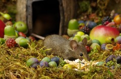 wild mouse with fruits and berry's (7) (Simon Dell Photography) Tags: wild george log pile house mouse nature garden animal rodent cute fun funny summer fruits berries berrys display lots bounty moss covered simon dell photography sheffield 2018 aug cool awesome countryfile ears close up high detail cards design