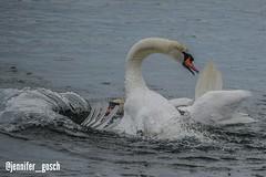 IMG_20180817_123726 (gosch_jennifer) Tags: cygnusolor cygnet cygnets swan swans swansfighting schwan schwäne schwanenkampf animal nature bird water waterbird vienna austria wien österreich