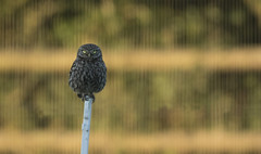 Little Owl (wild) - An unusual effect (Ann and Chris) Tags: owl wild wildlife avian bird raptor littleowl looking nature animal canon7dmarkii