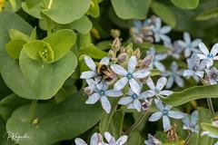 6R0A5509.jpg (pka78-2) Tags: summer kimalainen ilta flower sininen blue green vihreä kukka bumblebee kesä åbo southwestfinland finland fi
